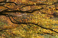 Autumn leaves. Golden autumn leaves royalty free stock images