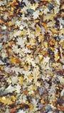 Autumn Leaves Foto de Stock Royalty Free