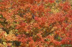 Autumn Leaves. Colorful autumn leaves filling the frame Royalty Free Stock Photos