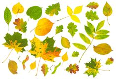 Autumn leaves. Big collection of isolated autumn leaves Royalty Free Stock Images