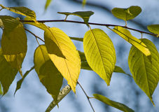 Autumn leaves. Branch with yellow autumn leaves against the blue sky Stock Photography