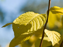 Autumn leaves. Branch with yellow autumn leaves against the blue sky Stock Images