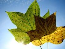 Autumn leaves. Against blue sky Stock Photo