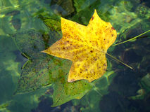 Autumn leaves. Floating in the water Stock Images