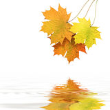 Autumn leaves. Above water on white background Stock Photography