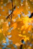 Autumn leaves. Beautiful colorful oak autumn leaves Stock Photos