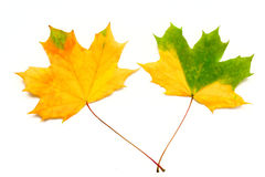Autumn leaves. Two colorful autumn leaves isolated on white Stock Photo