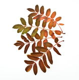 Autumn leaves. Tree species rowanberry Royalty Free Stock Images