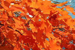 Autumn Leaves. Bright red autumn Maple leaves Stock Photo