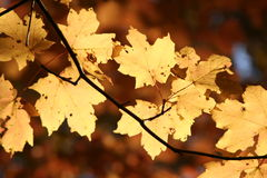 Autumn leaves. Autumn lights dancing on the leaves Stock Photo