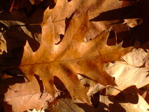 Autumn leaves. On the ground in the forest Royalty Free Stock Photography