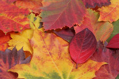 Autumn leaves. Background of fallen autumn leaves Stock Images