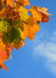 Autumn leaves. Background with blue sky Royalty Free Stock Photo