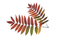Autumn leaves. Two colorful leaves on the white background Royalty Free Stock Images