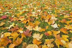 Autumn leaves in Royalty Free Stock Image