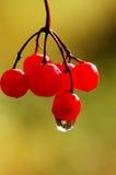 Autumn leaves. Autumn berries of arrowwood with raindrop Royalty Free Stock Photo