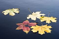 Autumn leaves. A few leaves on the water Royalty Free Stock Photo