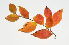 Autumn leaves. Picture of autumn leaves isolated on a white background Stock Image