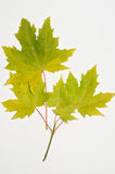 Autumn leaves. Picture of autumn leaves isolated on a white background Royalty Free Stock Photo