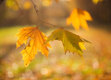 Autumn Leaves. Shallow depth of field stock image