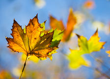 Autumn Leaves. Shallow depth of field Stock Photography