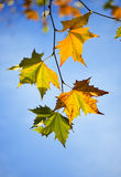 Autumn Leaves. Shallow depth of field royalty free stock photography