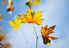 Autumn Leaves. Shallow depth of field Royalty Free Stock Photo