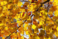 Autumn leaves. On tree branch Stock Photography