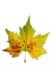 Autumn Leaves. Yellow autumn sheet of the maple on white background Stock Photo