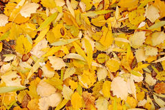 Autumn leaves. Background of yellow autumn leaves Royalty Free Stock Image