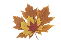 Autumn leaves. Tree colourful maple leaves isolated Stock Image