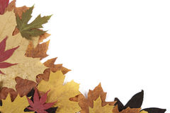 Autumn leaves. Background from yellowed maple leaves Stock Photography