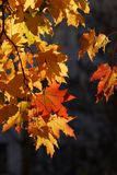 Autumn leaves. Close up pattern shot of autumn leaves on a tree stock images
