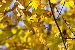 Autumn leaves. On a beautiful blue sky background Royalty Free Stock Photography