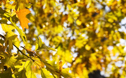 Autumn leaves. On a beautiful blue sky background Royalty Free Stock Photos
