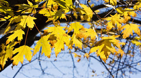 Autumn leaves. On a beautiful blue sky background Royalty Free Stock Images