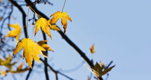 Autumn leaves. On a beautiful blue sky background Royalty Free Stock Image