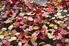 Autumn leaves. Fallen down autumn leaves Royalty Free Stock Photography