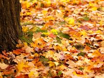 Autumn leaves. Autumn maple leaves on the ground Stock Photography
