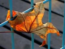 Autumn leaves. Autumn leaf yellow-orange in the rays of the sun sunset Stock Photo