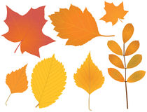 Autumn leaves. Beautiful autumn leaves collection:  maple, birch, elm - vector illustration Royalty Free Stock Photography