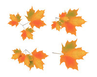 Autumn leaves. Colorful autumn leaves illustration on isolated background Stock Images