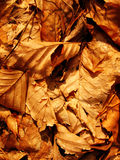 Dried autumn leaves Royalty Free Stock Image