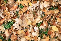Autumn leaves Royalty Free Stock Photo