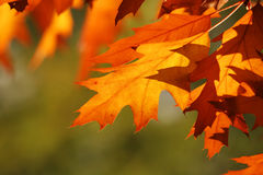 Autumn leaves. Abstract autumn background Royalty Free Stock Photo