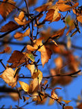 Autumn Leaves Imagens de Stock Royalty Free