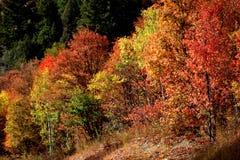 Autumn Leaves Ablaze royalty free stock image