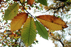 Autumn Leaves Above Royalty Free Stock Photo