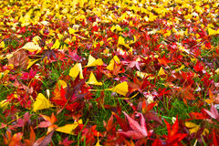 Autumn Leaves Abstract. Red and yellow autumn leaves on the grass for background Stock Photography