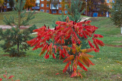 Autumn leaves on the  acacia. Royalty Free Stock Photography